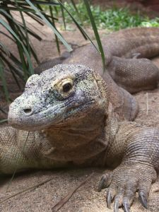 komodo-dragon-571597-m.jpg