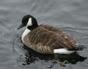 canada-goose-1403007